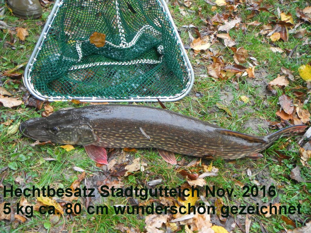 Hechtbesatz am Stadtgutteich Nov.2016; Ein Prachtexemplar 5 kg ca. 80 cm; wunderschöne Zeichnung